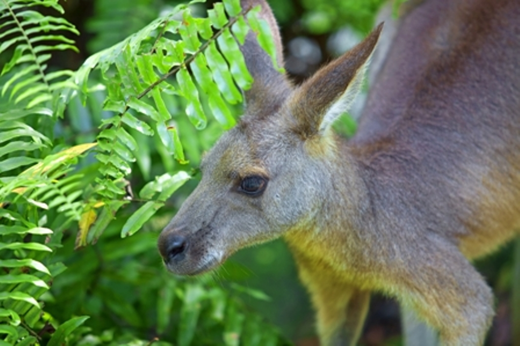 kangaroo, kangaroo 1770, 1770 tours, kangaroo agnes water